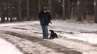 Zoey (labrador Retriever) Obedience Training