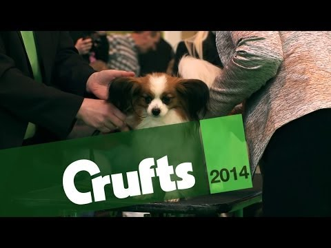From BoB to Arena | Papillion | Crufts 2014