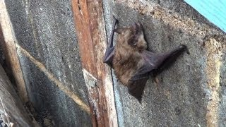 Bats in the Attic?  Humane Wildlife Services Can Help