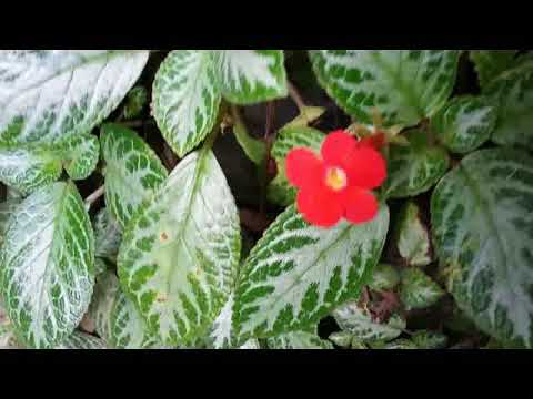 Episcia Plant -  the flame violet - tropical flowering plant - bunga cinta abadi