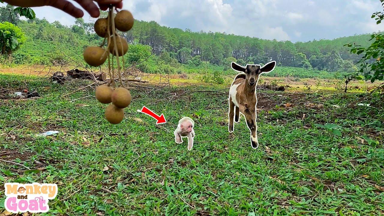 Cute baby monkey and goat scramble fruit