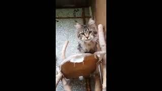 Кошки мейн кун питомник COONWOOD
