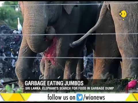 Elephants search for food in garbage dumps in Sri Lanka