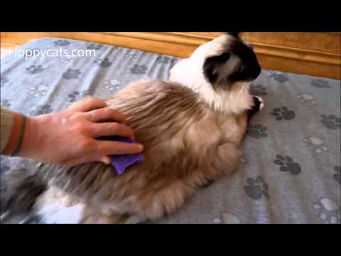Ragdoll Cat Caymus Gets Brushed with the KONG Zoom Groom Cat Brush - ねこ - ラグドール - Floppycats