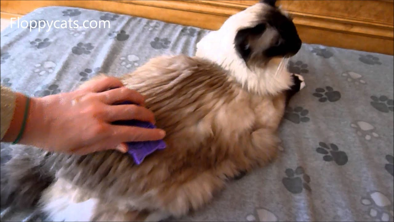Ragdoll Cat Caymus Gets Brushed With The Kong Zoom Groom