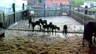 Carneirinhos brincando na baia :)