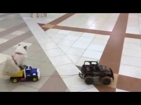 Кошка Аврора на грузовике