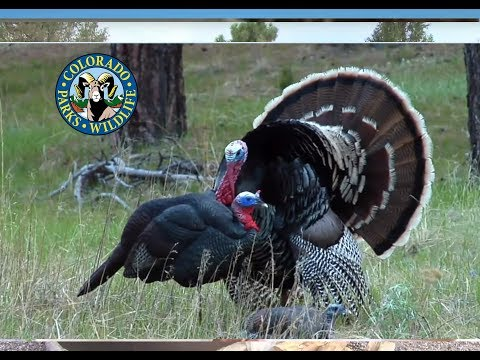 Turkey Hunting Colorado