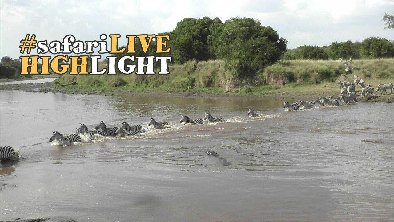 crocodiles-attack-and-kill-zebra-during-a-river-crossing-in-the-maasai-mara