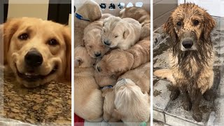 Best Golden Retriever Compilation ~ Cutest Golden Retrievers ~ Funny Dogs [2021]
