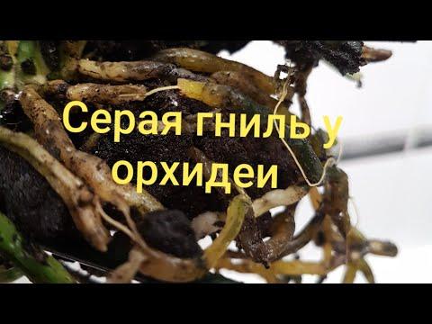 Серая Гниль у орхидеи! Гниют корни и ствол у орхидеи!