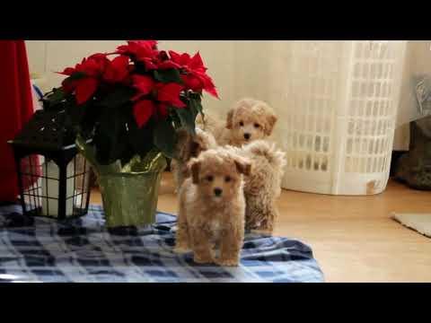 Maltipoo Puppies For Sale Jonas Stoltzfus 4