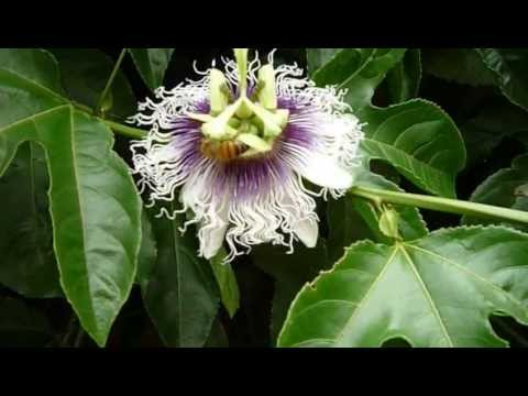 Growing passion fruit in pots in san diego youtube for Gardening is my passion