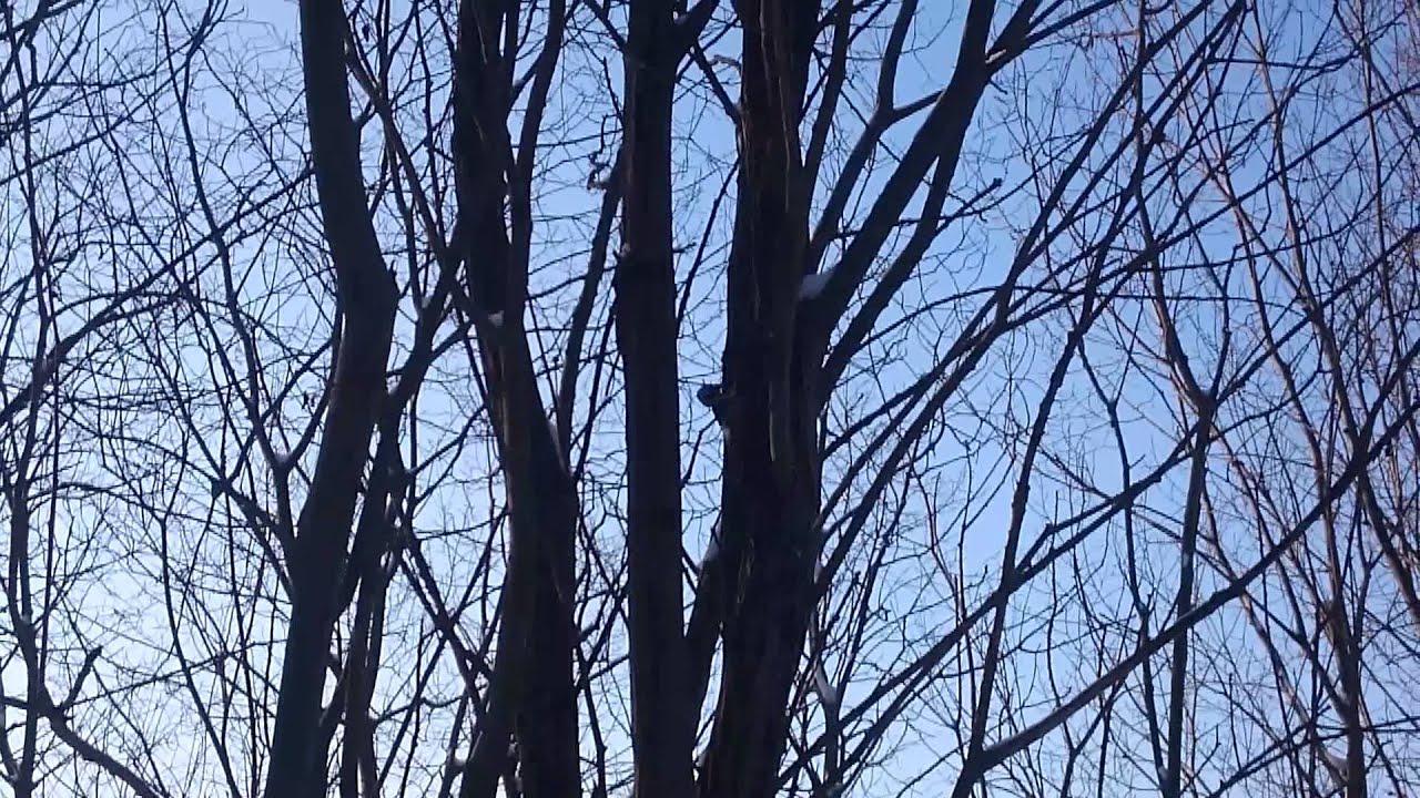 Картинки зимой дятел стучит по дереву