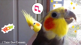 Ninfas Silbando Coco & Jade/  Cockatiels whistling/ Cozumel/...