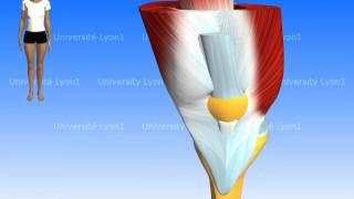 Les muscles de la cuisse : le quadriceps