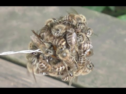 The hornet cooked by Japanese honey bees