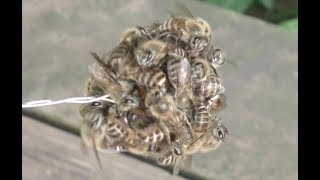 Japanese honey bees killed the hornet with heat. That's marvelous. ...