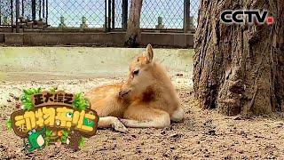 [正大综艺·动物来啦]小麋鹿生下来通常多久可以站立| CCTV