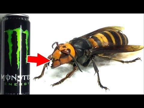 弱ったオオスズメバチにモンスターエナジーを飲ませたら凄いことになった