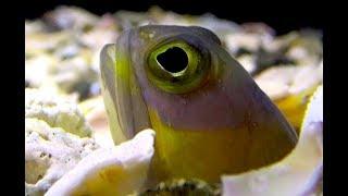 アゴアマダイ Jawfish Opistognathus hopkinsi thumbnail