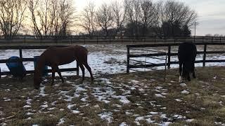 Horses Graze 1 (1/9/2018)