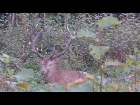Red deer latvia