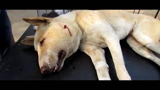 Уличная собака, страдающая огромным абсцессом, спасена!