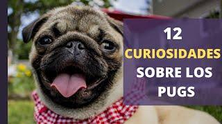 12 CURIOSIDADES sobre los PUGS
