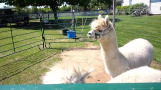 Alpaca on Long Island at the Hallockville Museum Farm Riverhead New York