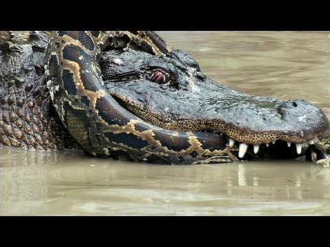 Crocodile vs alligator fight - photo#20