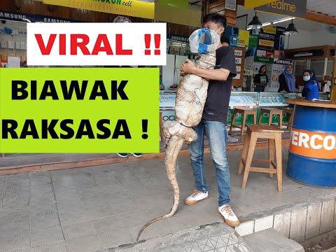 Viral Biawak Raksasa Di Purwokerto