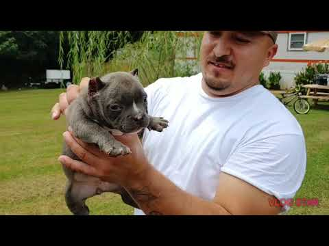 Bully Puppies 7 weeks old