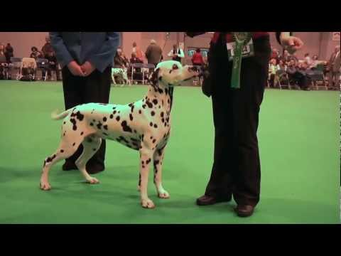 Crufts 2013 Dalmatian Best of Breed - Ch Offordale Chevalier