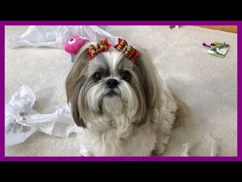 Lacey opens Christmas presents 🎁🎄| What did Santa 🎅 bring? | Cute Shih Tzu dog 🐾 and a treat 🍖 from YouTube · Duration:  11 minutes 3 seconds