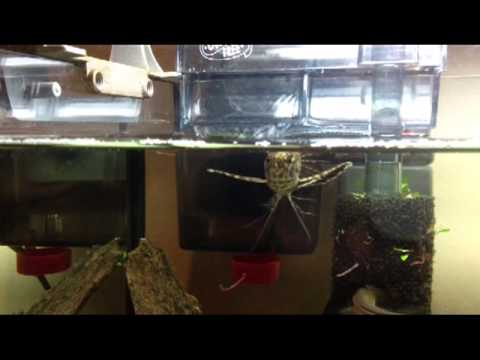African Butterfly Fish Feeding