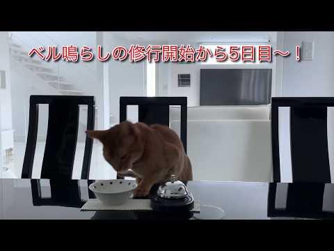 ベルを鳴らす猫 cat tricks Cute cat