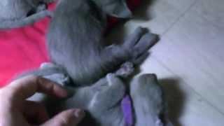 Смешные маленькие котята породы русская голубая