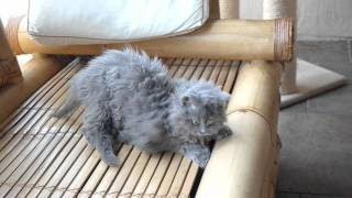 Fair and Square  Didi's Selkirk Rex kittens, almost 12 weeks old.avi