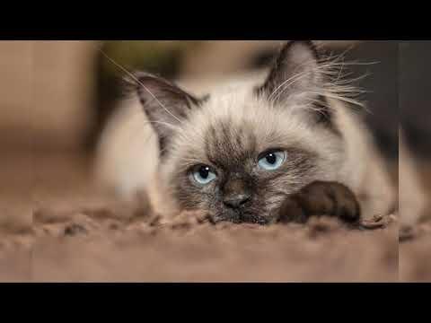Сиамская кошка. Плюсы и минусы, Цена, Как выбрать, Факты, Уход, История