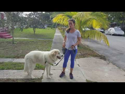 Great Pyrenees, Getting your dog's attention on a walk/loose leash walking