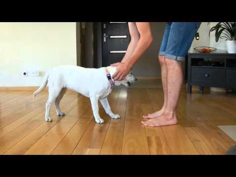 Labrador 4 months