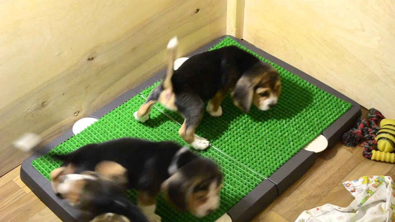Spotty Indoor Dog Potty - YouTube