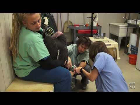 Oakland Zoo Veterinarians treat California Condors for Lead Poisoning