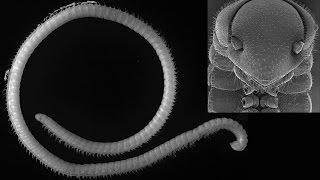 باحثون يكتشفون مخلوقا يمتلك 414 ساقا «فيديو وصور»