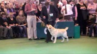 Crufts 2010 Labrador Dog Class Judging