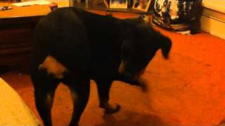 Why Rottweiler's Should Have Their Tail Docked!