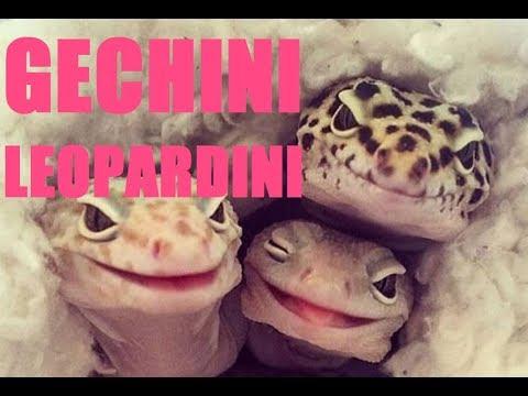 Il Geco Leopardino...