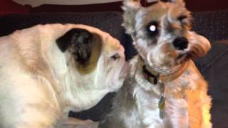 Puppy Love - Otis The Bulldog And Nattie