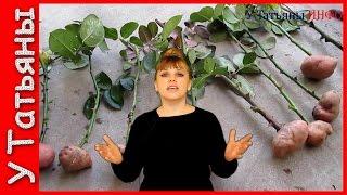 Черенкование роз в картофеле. Лучший способ укоренения черенками в картофеле. Как вырастить розы.